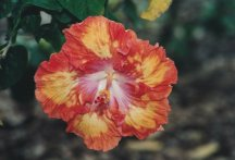 Flame-Clored Hibiscus